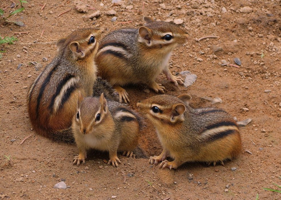 squirrels squirrel chipmunk wallpaper