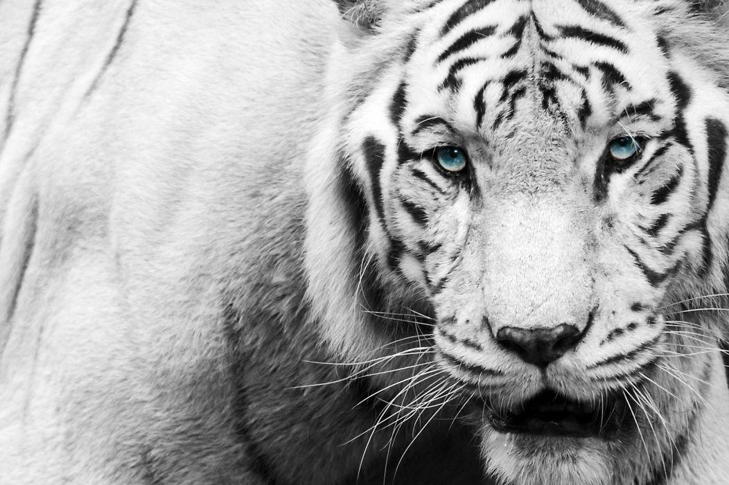 tiger face eyes black wallpaper