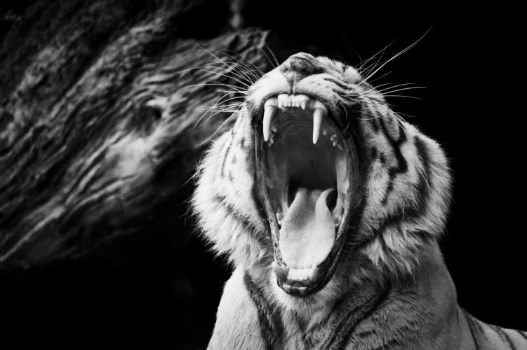 tiger mouth black wallpaper