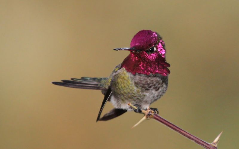 bird hummingbird branch feathers pink g wallpaper