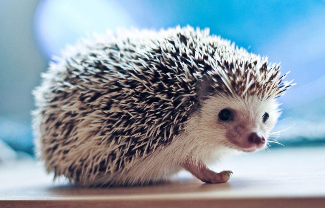 needles hedgehog wallpaper