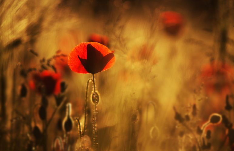 Poppies red flowers field close-up blurred wallpaper