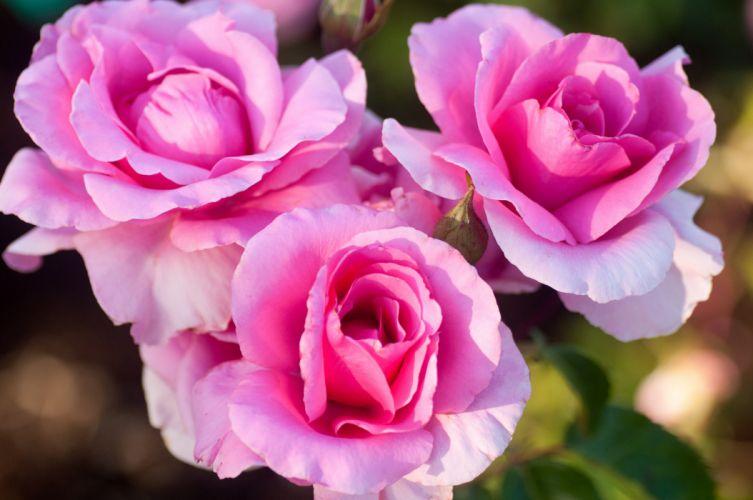 Rose trio buds petals wallpaper