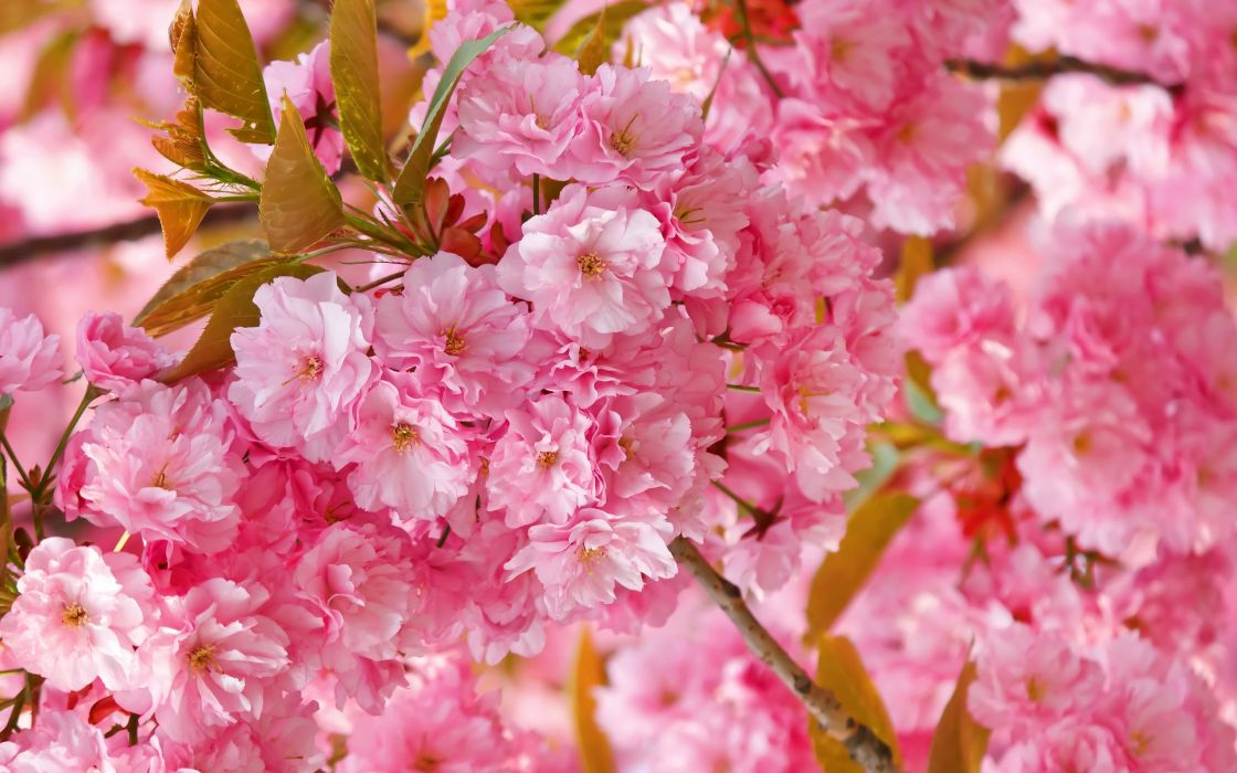 flowers sakura spring pink blossoms wallpaper