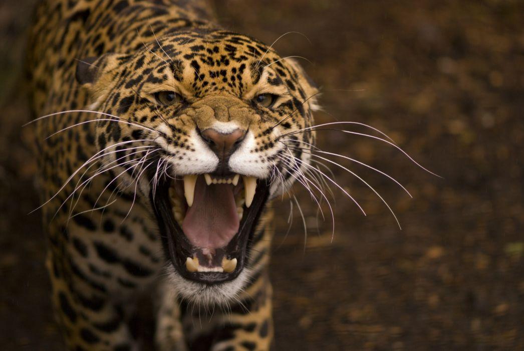 jaguar wild cat face teeth rage anger jaws teeth wallpaper