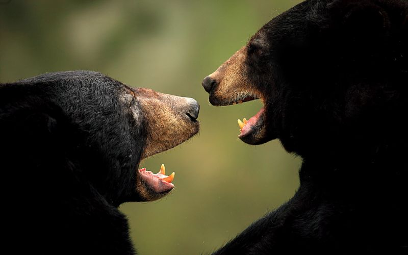 bear bears wallpaper