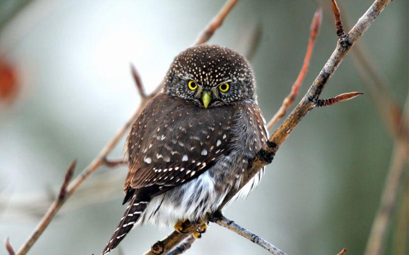 bird owl nature wallpaper