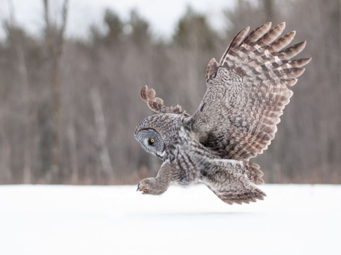 owl wings wallpaper