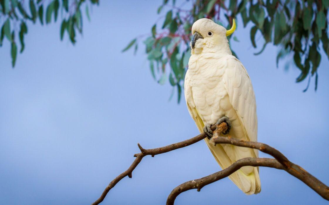 parrot branch cockatoo wallpaper