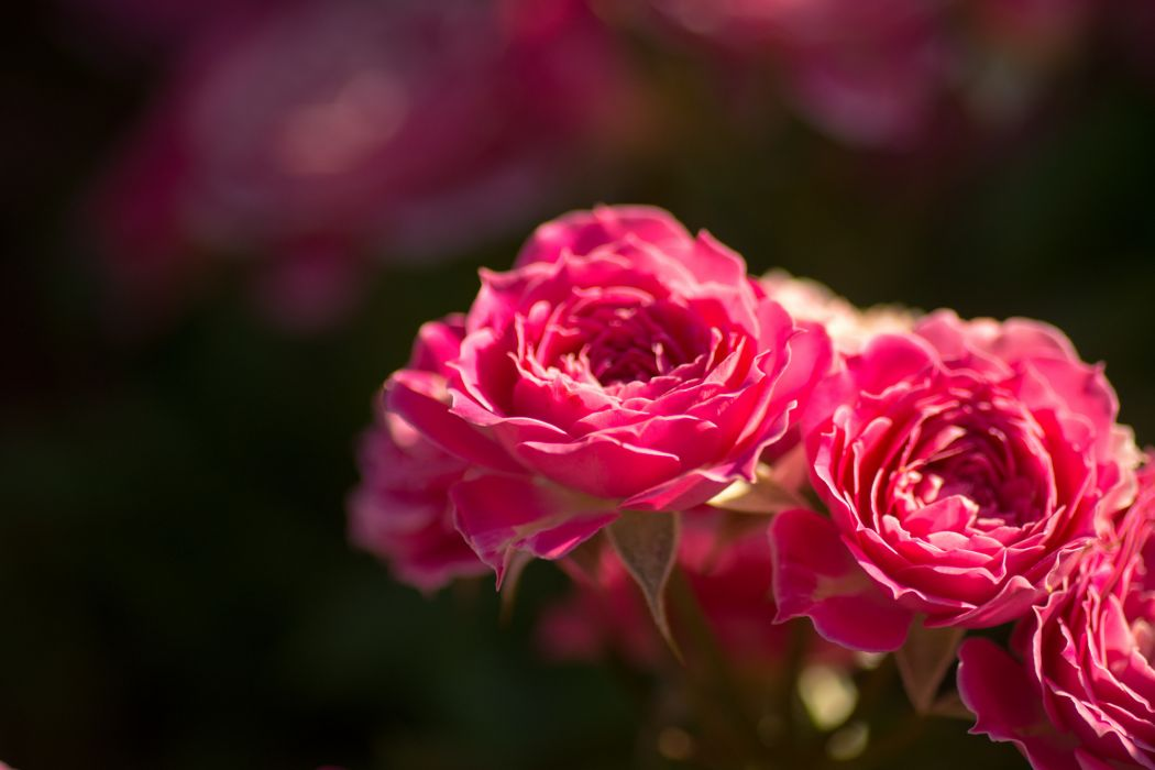 roses buds close-up wallpaper