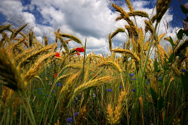 field ears flowers poppies cornflowers close-up grass wheat hdr wallpaper