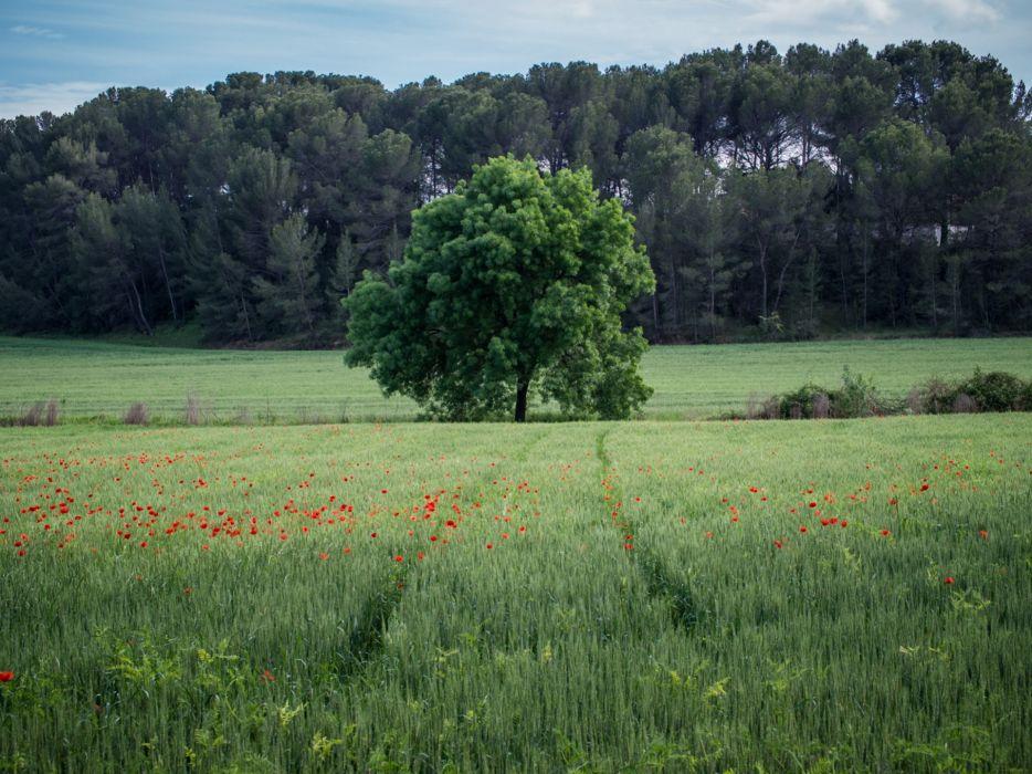 landscape field tree poppies sky wallpaper
