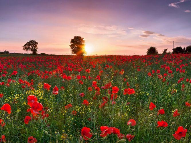 field poppies sunset wallpaper