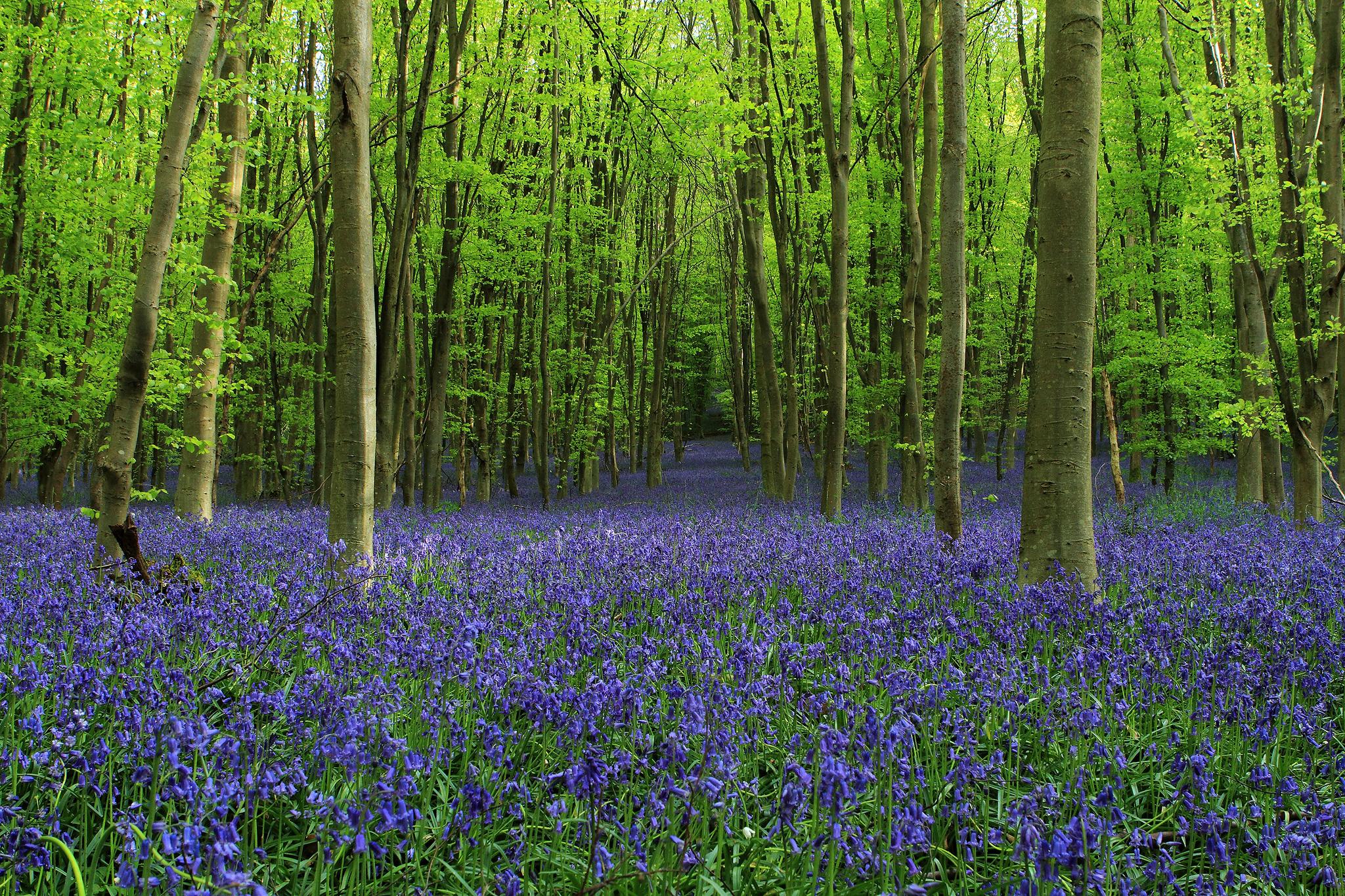 lavender field desktop background
