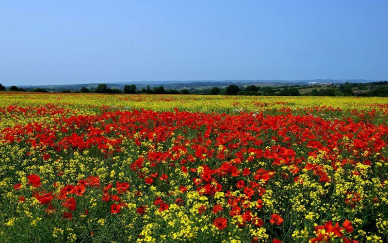 poppies wild cress skyline flowers landscape field wallpaper