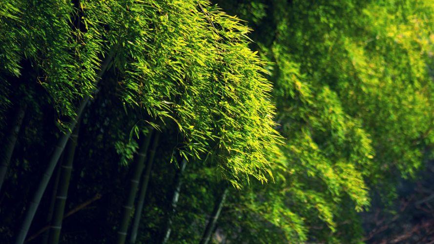 Bamboo Green Trees bokeh wallpaper