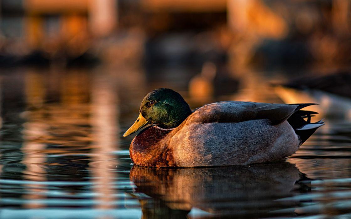 Geese Birds ducks duck bird wallpaper