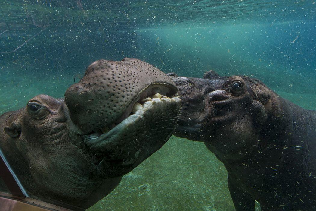 Hippopotamus Hippo    f wallpaper