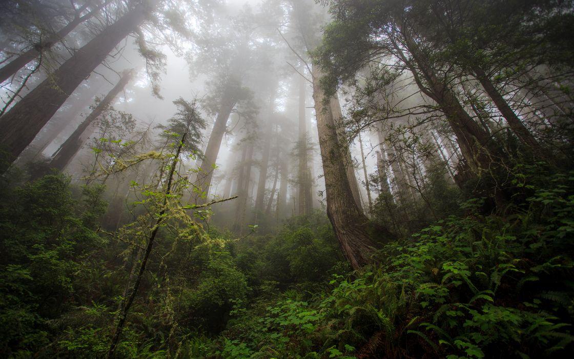 Redwood Trees Forest Fern Fog Mist wallpaper