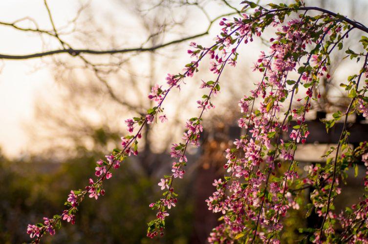branches flowering flower blossoms blossom bokeh wallpaper