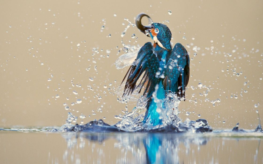 kingfisher bird water spray catch drops reflection     h wallpaper
