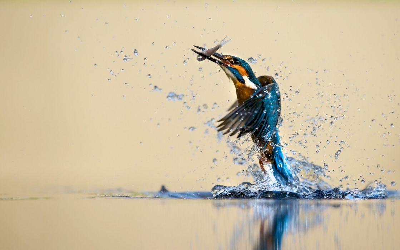 kingfisher bird water spray catch drops reflection h wallpaper