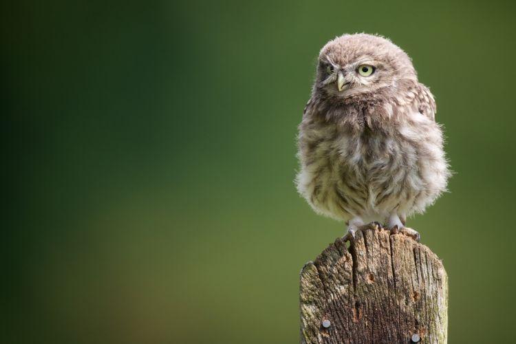 owl owlet owl chick wallpaper
