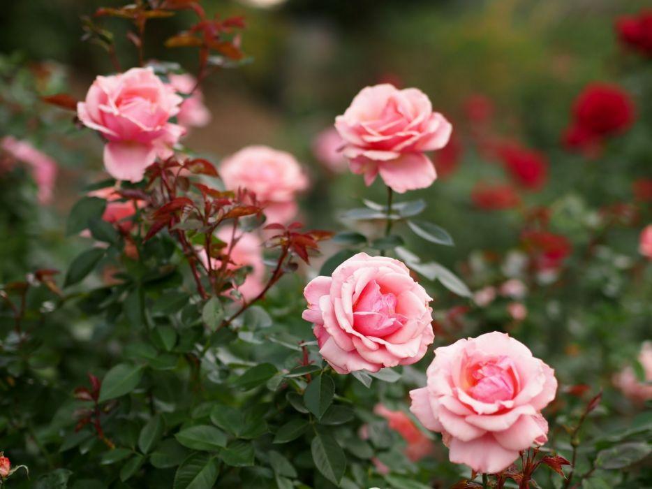 Roses Shrubs Flowers  h wallpaper