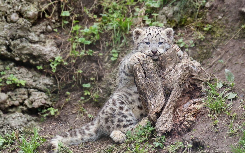 snow leopard kittens cat kitten    g wallpaper