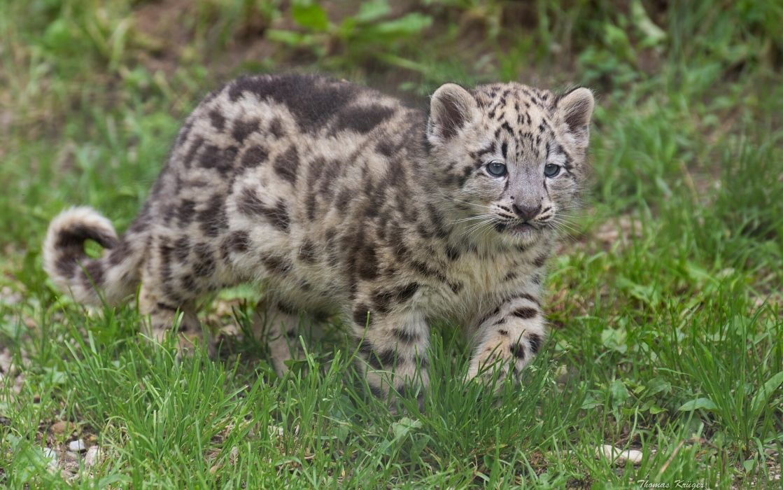 snow leopard kittens cat kitten wallpaper