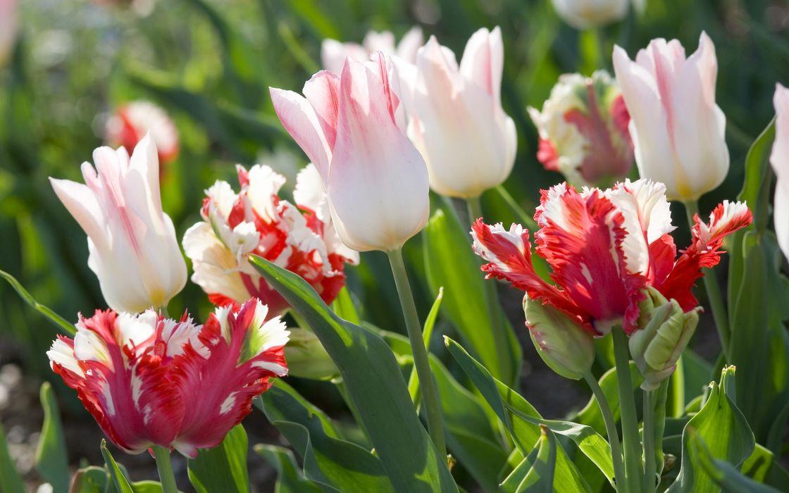 Tulips White Flowers wallpaper