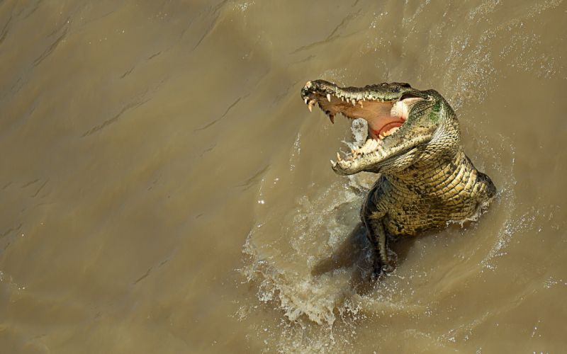 crocodile nature water predator wallpaper