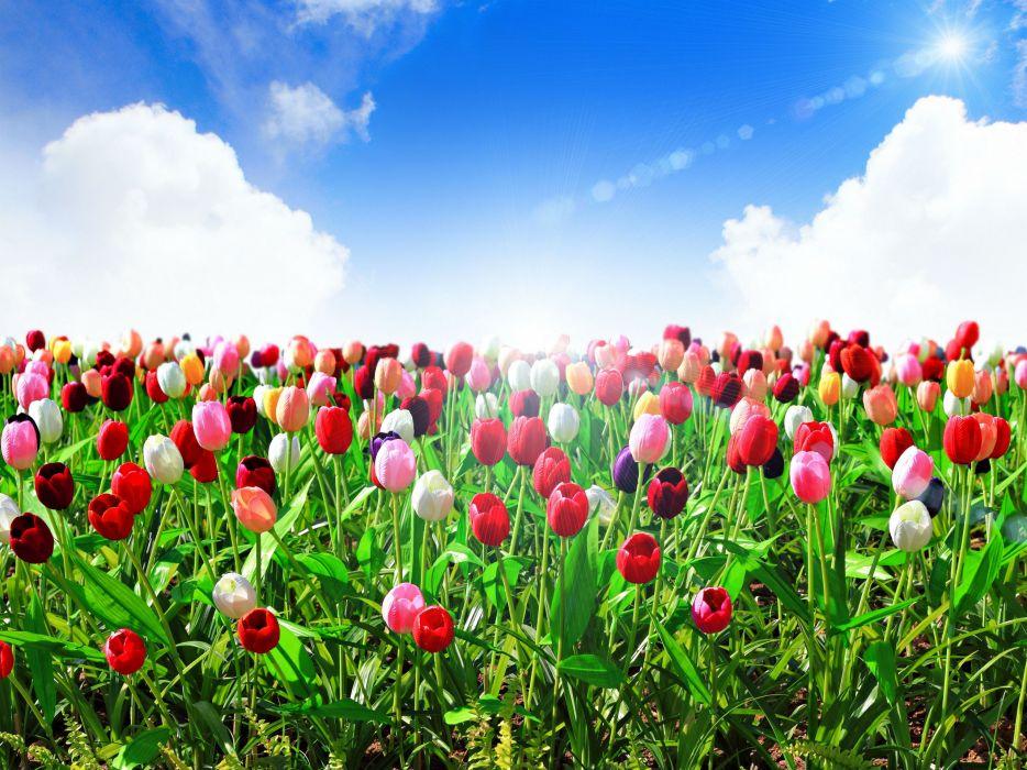 Tulips Sea of flowers Sky Flowers wallpaper