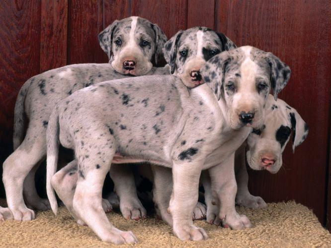 puppies great dane wallpaper