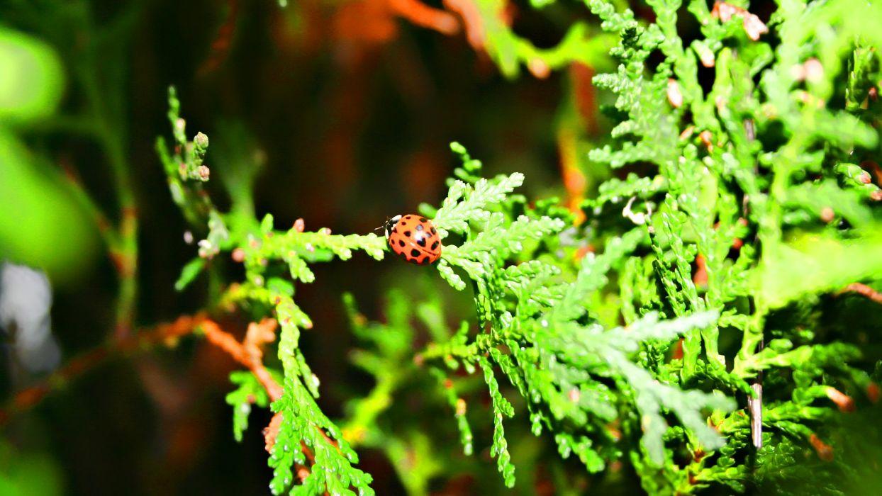nature ladybirds wallpaper