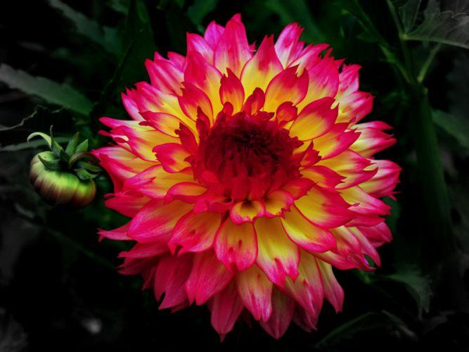 Dahlias Flowers wallpaper