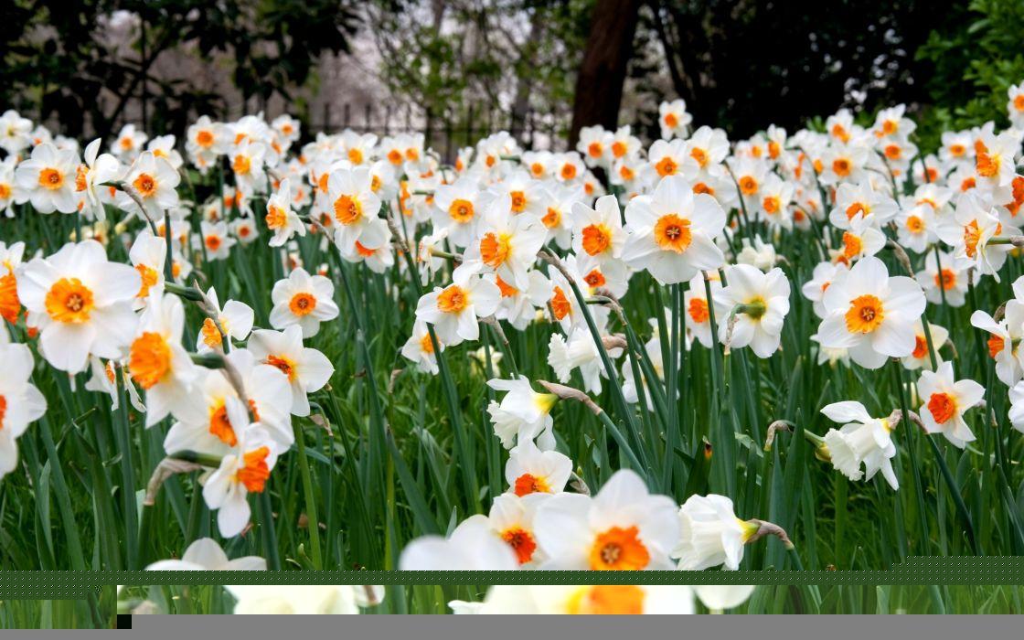 flowers  daffodils  many wallpaper