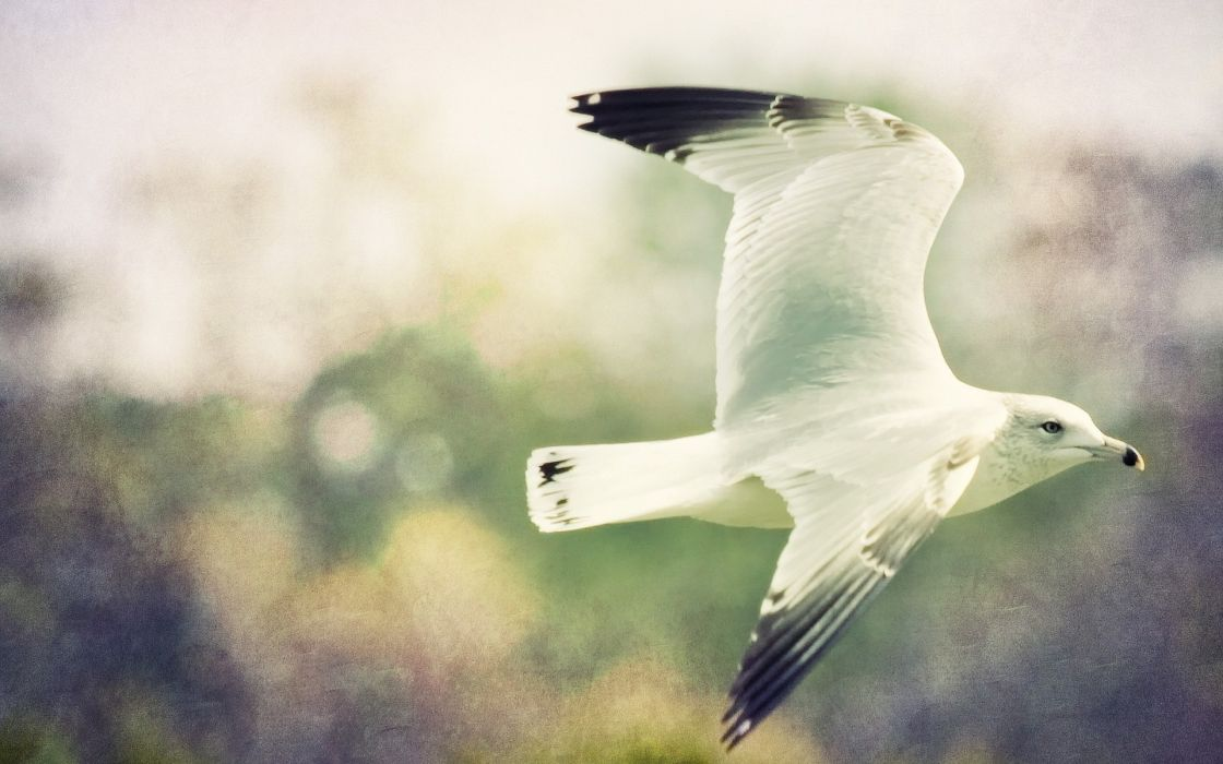 birds animals seagull wallpaper