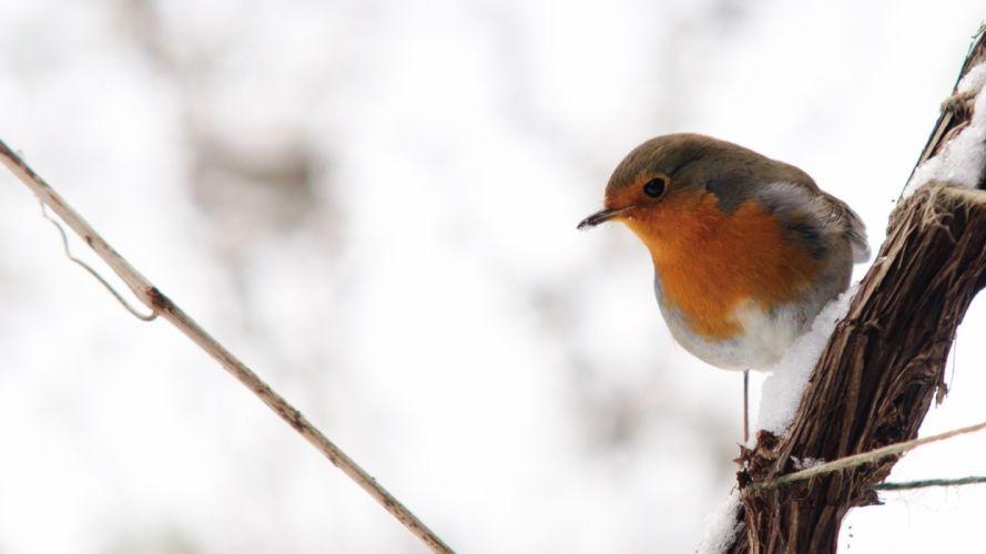 birds robins Animals Bird wallpaper