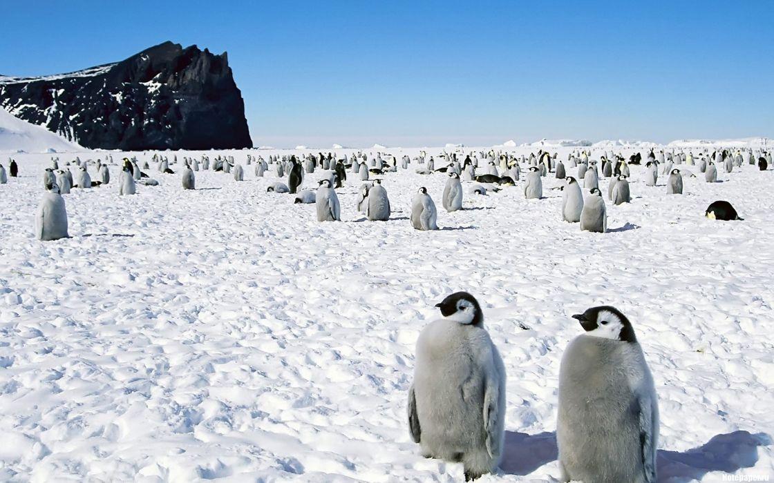 birds wildlife penguins Animals Bird wallpaper