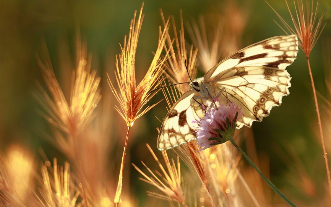 butterfly  summer  nature  macro bokeh wallpaper