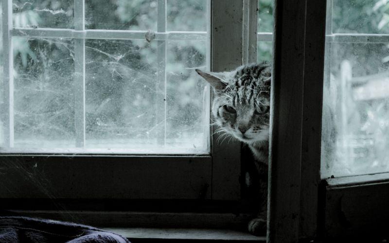 cat window web wallpaper