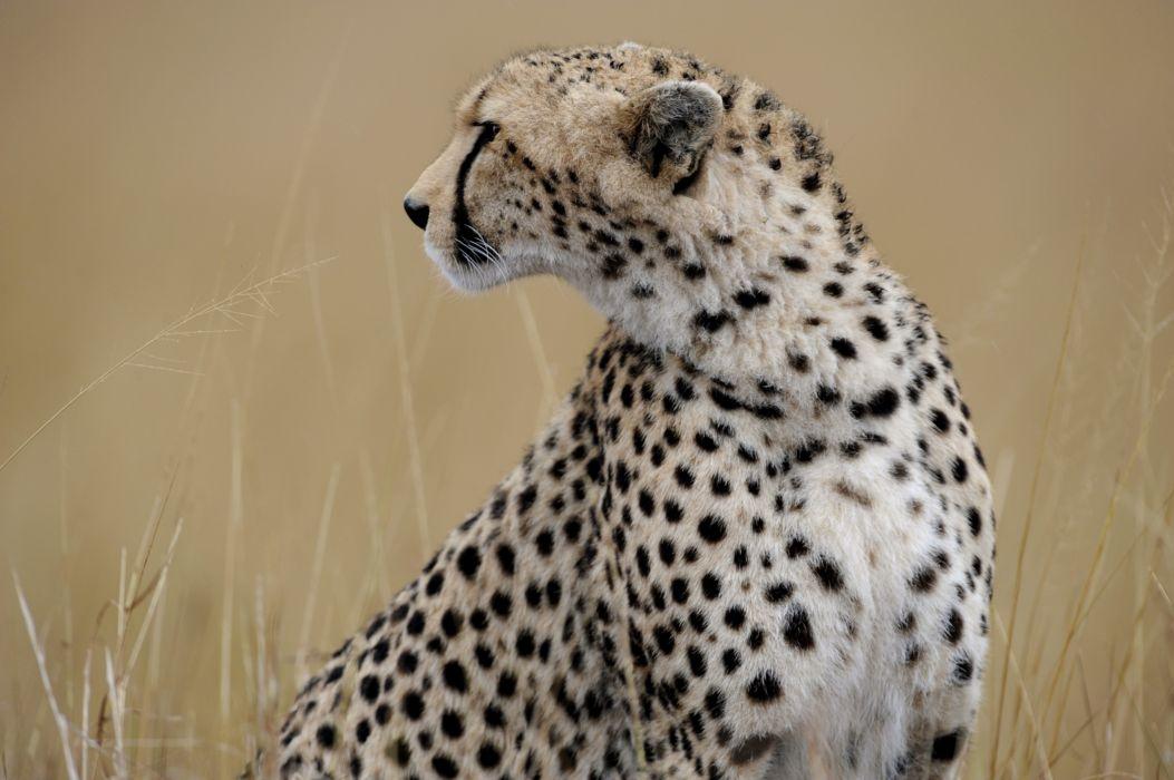 cheetah wild cat wallpaper
