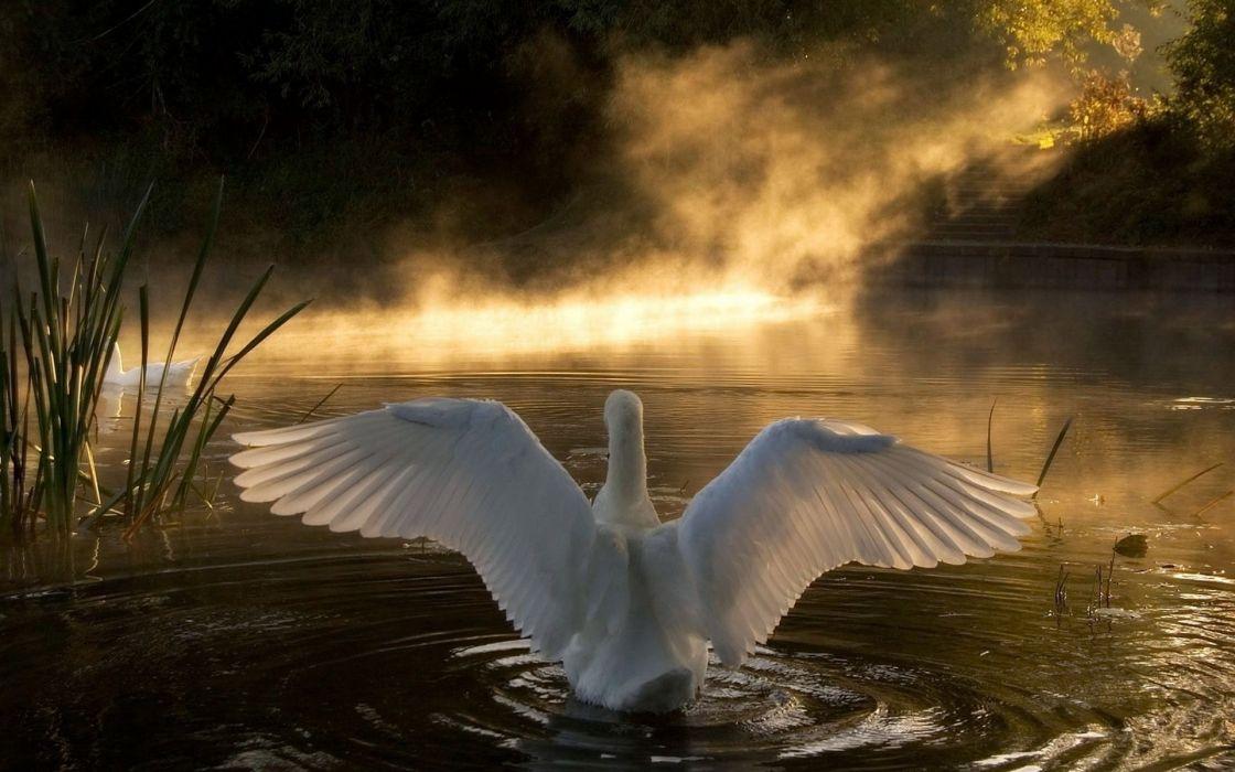 nature birds wildlife swans lakes Animals Bird swan wallpaper