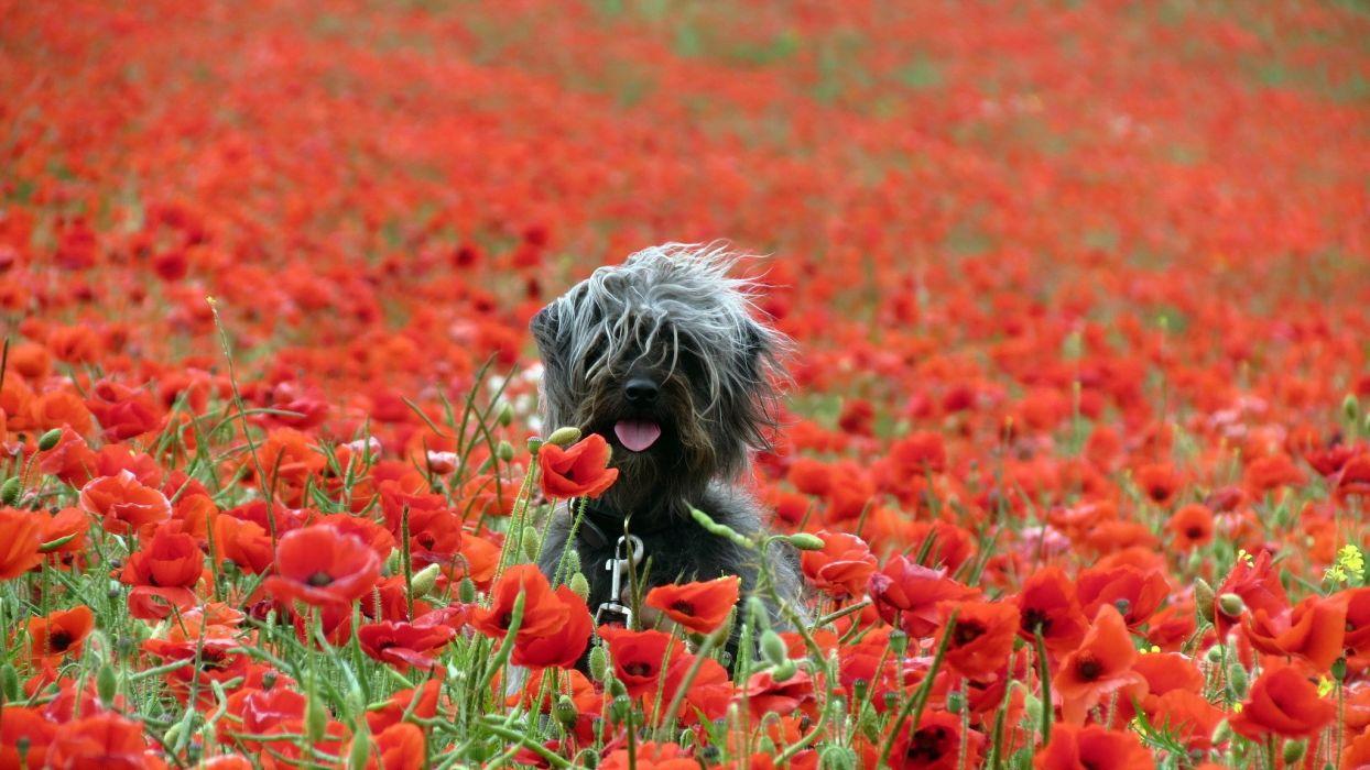 poppies nature dog wallpaper