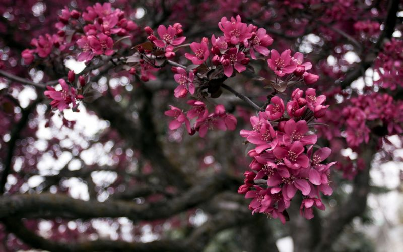Spring branches nature tree blossoms wallpaper