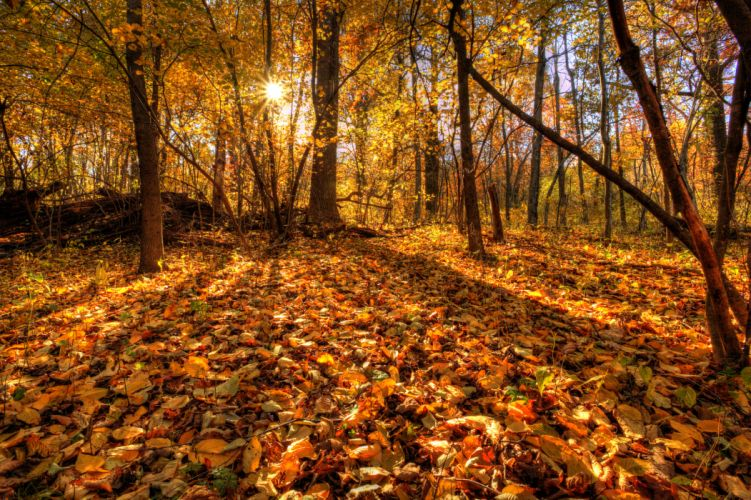 trees forest leaves autumn wallpaper