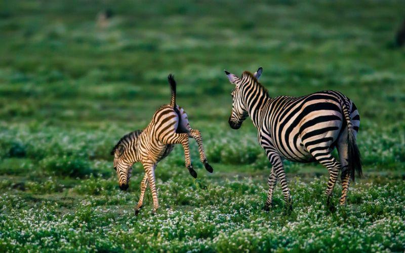 zebra baby foal wallpaper