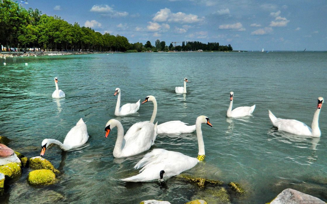 Balaton swan Hungary summer water birds wallpaper