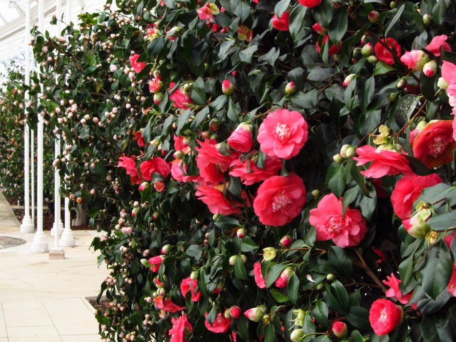 Camellia Flowers wallpaper